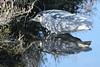 Black-Crowned Night-Herron, Bolsa Chica Wetlands