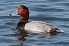 Redhead, Bolsa Chica Wetlands