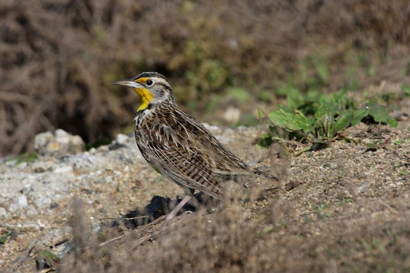 Medowlark, Western, Bolsa Chica Wetlands.