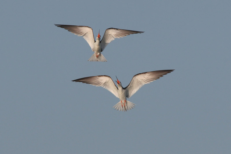 Elegent Tern, Bolsa Chica Wetlands