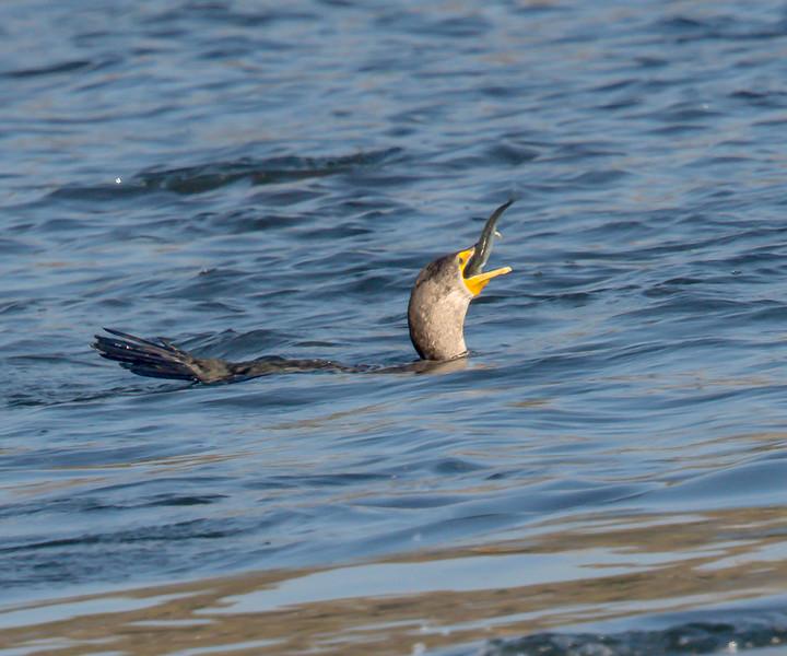 Double-crested Cormorant, Bolsa Chica Wetlands