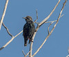 European Starling, Bolsa Chica Wetlands