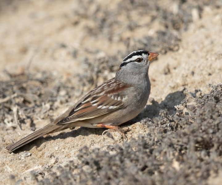 White-crowned Sparrow, Bolsa Chica Wetlands