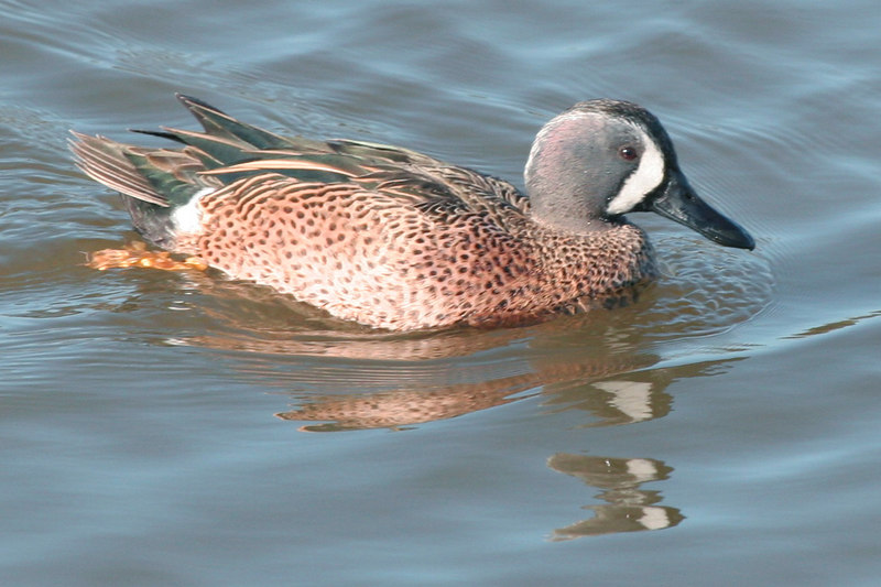 Blue-winged Teal, Bolsa Chica Wetlands