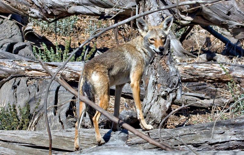 Coyote,  Bolsa Chica Mesa