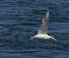 Royal Tern, Bolsa Chica Wetlands