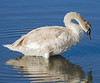 Mute Swan, Bolsa Chica Wetlands