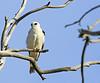 White-Tailed Kite, Bolsa Chica Wetlands