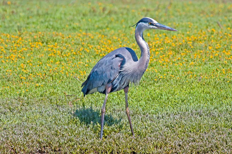 """Great Blue Heron, Bolsa Chica wetlands. This picture is also part of the Smithsoiam Migratory Bird Exibit CLICK to See <a href=""""http://nationalzoo.si.edu/scbi/migratorybirds/featured_photo/photographer.cfm?photographer=John_Hannan"""">http://nationalzoo.si.edu/scbi/migratorybirds/featured_photo/photographer.cfm?photographer=John_Hannan</a>"""