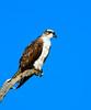Osprey, Bolsa Chica
