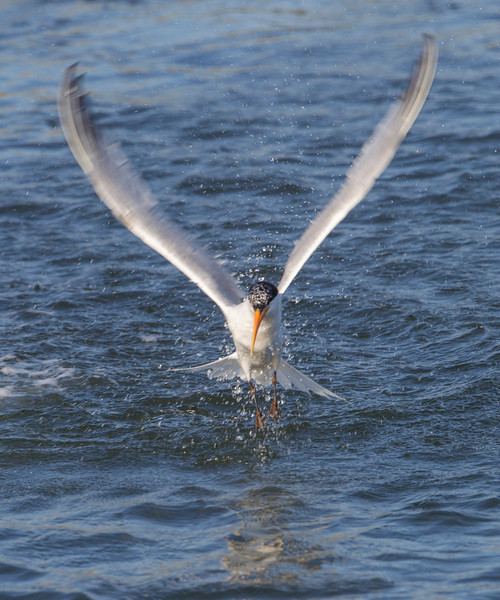 Elegant Tern coming out of the water.