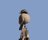 Loggerhead Shriek, Bolsa Chica Wetlands