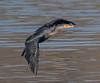 Double-crested Cormorant, Bolsa Chica Wetlands
