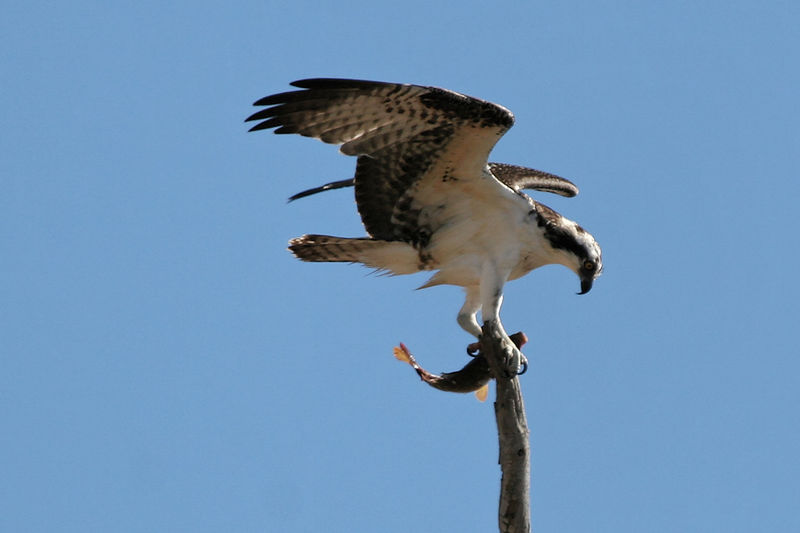 Osprey trying to land and eat its fish , Bolsa Chica Wetlands