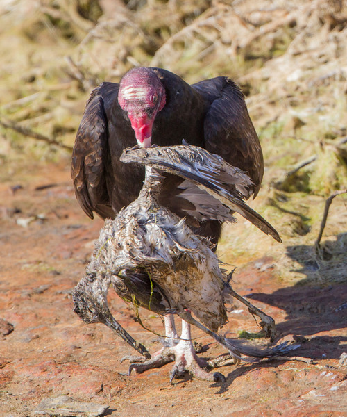 Turkey Vulture eating a Willett