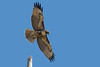 Red-Tail Hawk, Bolsa Chica Wetlands
