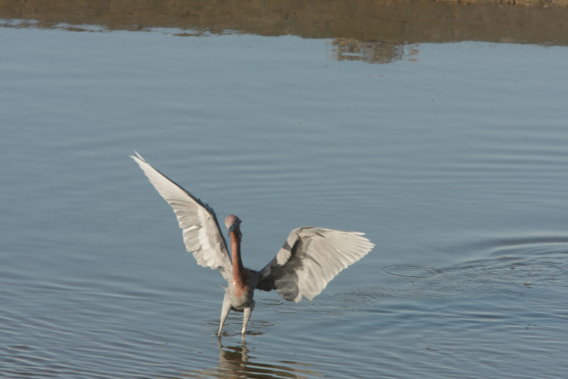 Reddish Egret jupping to catch fish