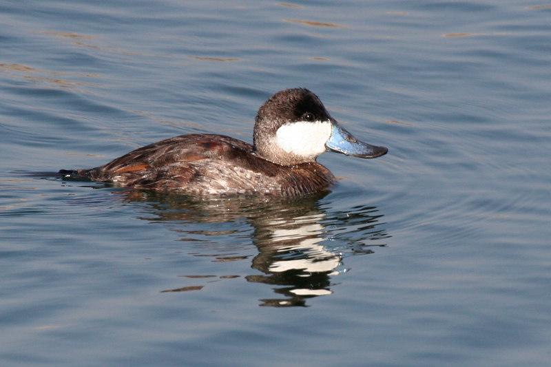 Ruddy Duck, Bolsa Chica Wetlands