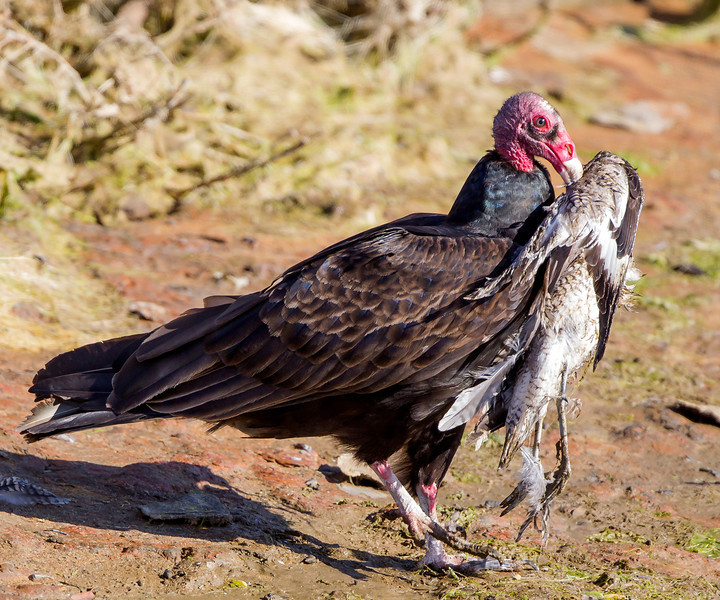 Turkey Vulture eating a Willet