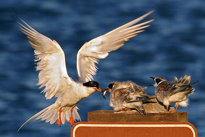 """So, whose """"tern"""" is it?  A mother Forster's Tern feeds her young."""