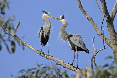 In this photo, I have removed the branches that were obstructing the view of these Great Blue Herons.  (See prior photo in this gallery.)