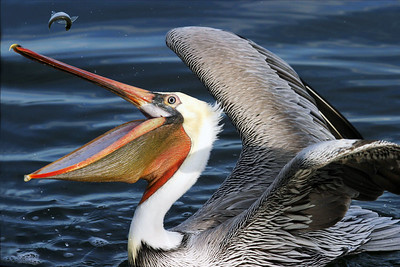 A small fish popped out of this Brown Pelican's mouth just as I took this shot.
