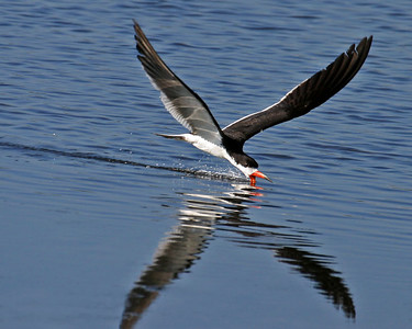 A Black skimmer.  Now, how do you suppose this bird got its name?
