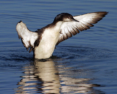 Why is this bird acting so looney?  Probably because it is a Pacific Loon.