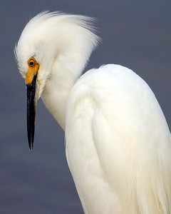 Profile of a snowy egret.