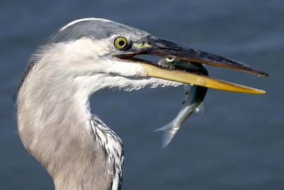 A Great Blue Heron at lunch time.
