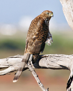 A juvenile Cooper's Hawk spotted along the trail on the mesa.