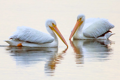 Two White Pelicans