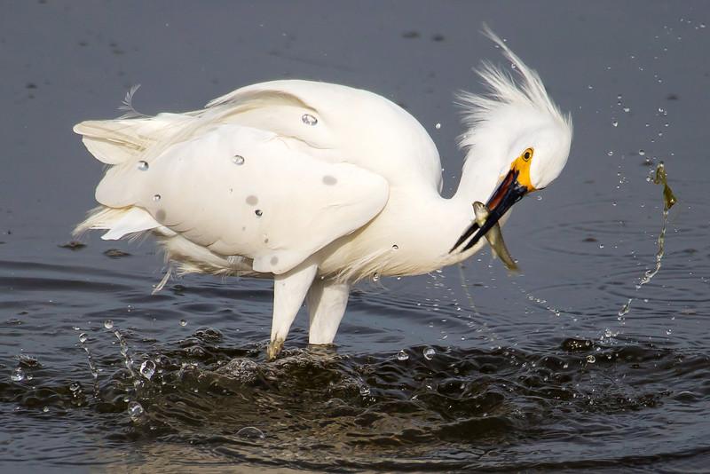 Snowy Egret with Catch - 8 x 12