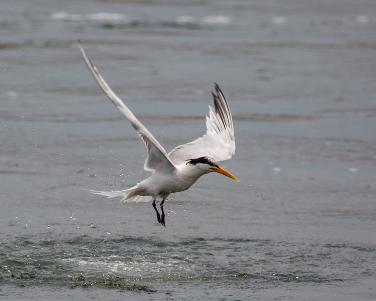 Tern After a Dive