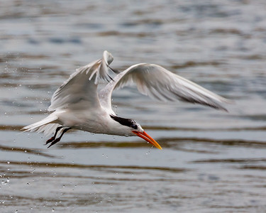 Tern After a Dive - 3