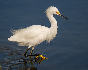 Snowy Egret Stepping