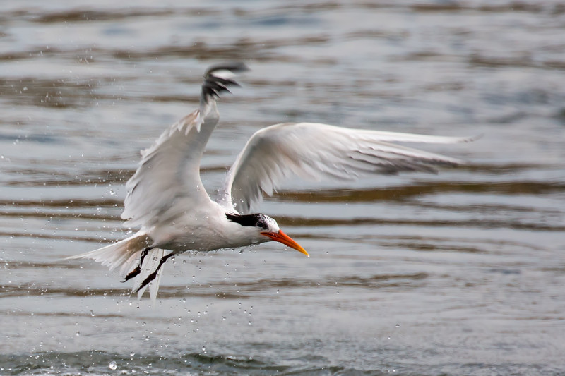 Tern After a Dive - 2