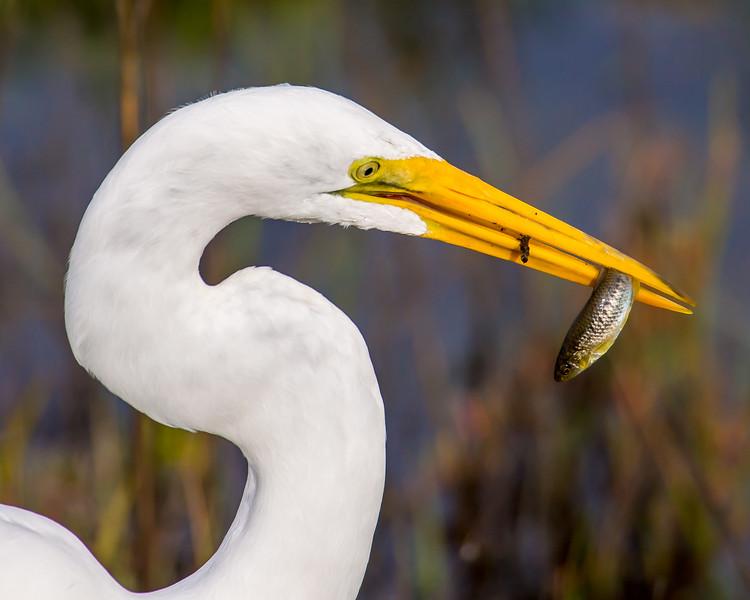 Great Egret Having Lunch