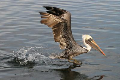 A Brown Pelcian taking off.