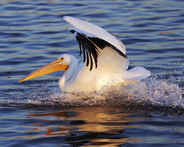 A White Pelican coming in for a landing.