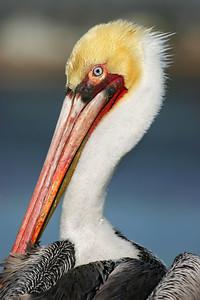 A close-up head shot of a Brown Pelican.
