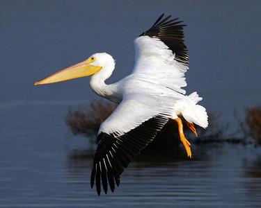 A White Pelican in flight near the bridge.