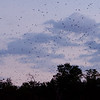 Purple Martins over Bomb Island, Lake Murray, SC