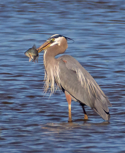 Great Blue Heron with Morning Catch