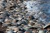 Horseshoe crabs on Delaware Bay beach