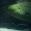 Enormous Green Moray