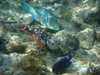 Two different Parrotfishes and a Blue Tang.