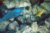 Nice close up of a Parrotfish.