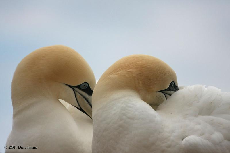 Northern Gannets, Bonaventure Island, QC.