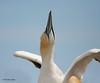 Northern Gannet courtship, Bonaventure Island, QC.